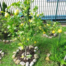 Lemon tree and other fruits trees at the centre