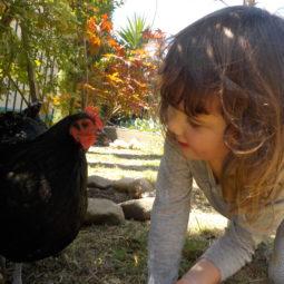 chicken Lily G