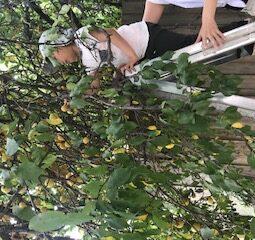 Plum Tree Louis Picking 2020
