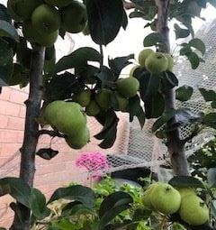 Pears Tree Harvest 21