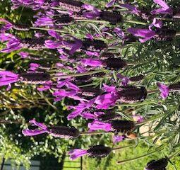 Lavander flower 2021