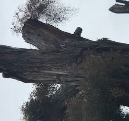 Gum tree trunk with Duck
